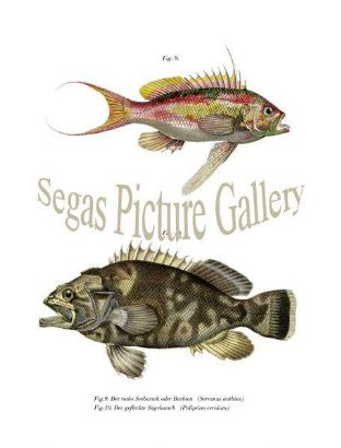 Bass, Red Sea or Barbie, Spotted Seabass